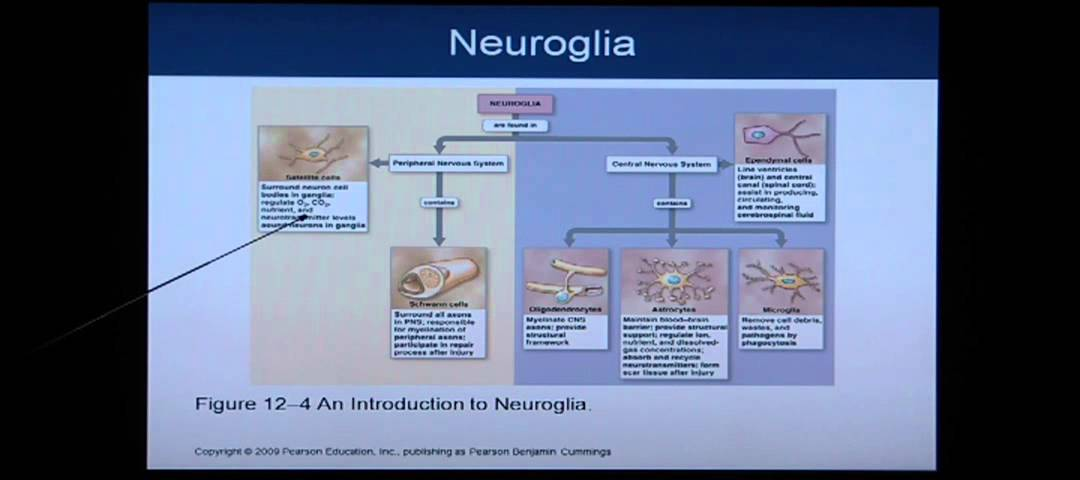 Anatomy and Physiology Chapter 12 Part 1: Nervous System/Neural ...