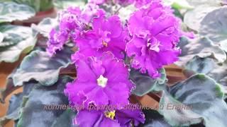 Прогулка по фиалковой полянке))цветение моих красавиц!Фиалки на стеллаже.