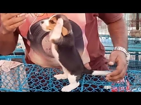Cute & Playful Beagle Puppy At Galiff Street Dog Market Kolkata l Price 18k