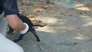 メスとはいえ闘犬の血を引くStaffordshire Bull Terrier。生後3ヶ月の今...