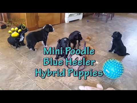 Mini Poodle, Blue Heeler Hybrid Puppies