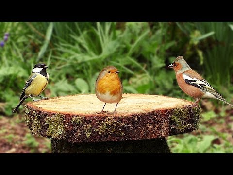Bird Sounds And Videos For Cats And People - Birds At The Forest Table