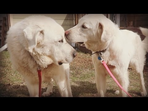 Old Livestock Guardian Dog Meets New LGD - Introducing a New Dog to a Current Dog