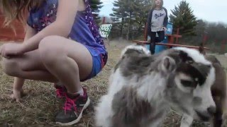 baby goat videos