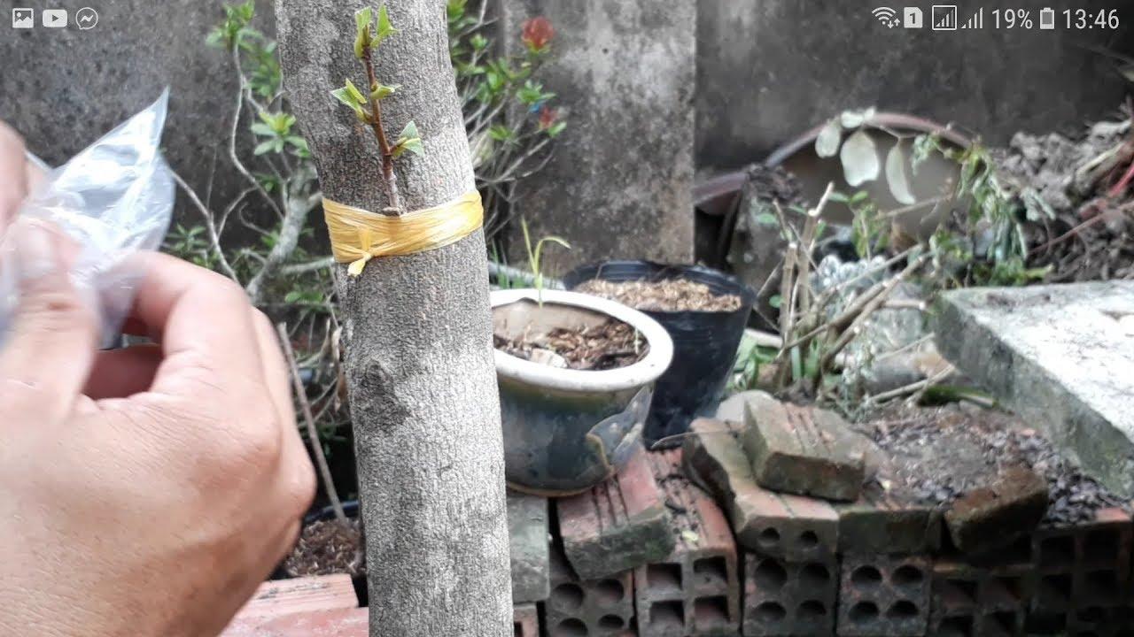 Ghép tạo cành cho cây mai vàng có thân đơ như cây cơ