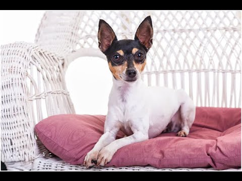 The Smallest Dog In The World: 11 Small Breed Dogs 2016 NEW