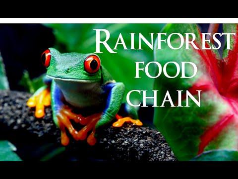 Rairforest food chain | rainforest ecosystem - YouTube
