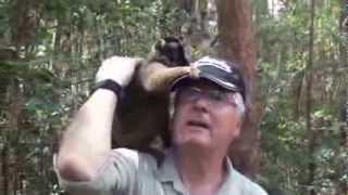 Les Lémuriens de Madagascar.  Reserve de Mantadia. Indri-Indri et Sifaka.