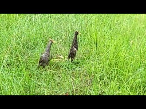 เรียนรู้วิธีดักนกตูม[นกอีลุ้ม]ไม่ทันไรมันมาเยือนซะแล้ว!!! Ep.1.