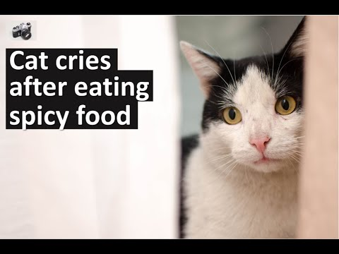 Cat Series: A cat is crying after eating spicy food