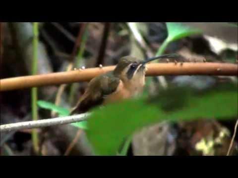 phaethornis striigularis