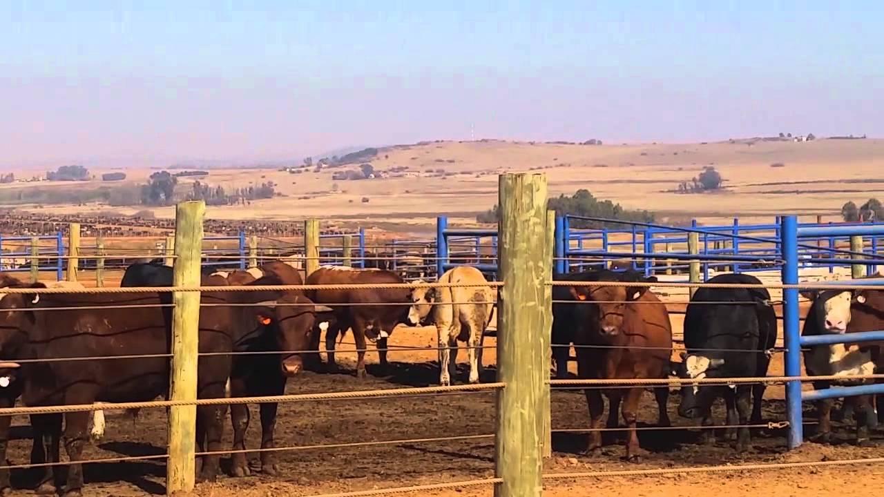 cattle fattening business plan pdf