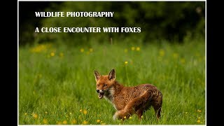 Wildlife photography- A close encounter with foxes