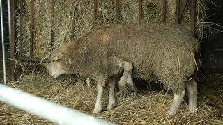 Insolite: un mouton à cinq pattes mis en vente sur le net - 07/11