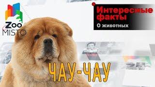 Чау-чау - Интересные факты о породе  | Собака породы чау-чау