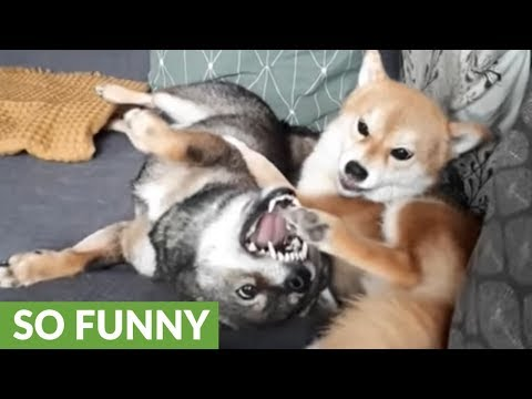 Shiba Inu chews on best friend's foot