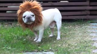 フレンチブルドッグ宙です。ライオンのかぶりものが、とっても似合います。