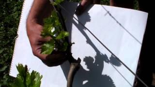 Виноград Обломка побегов винограда