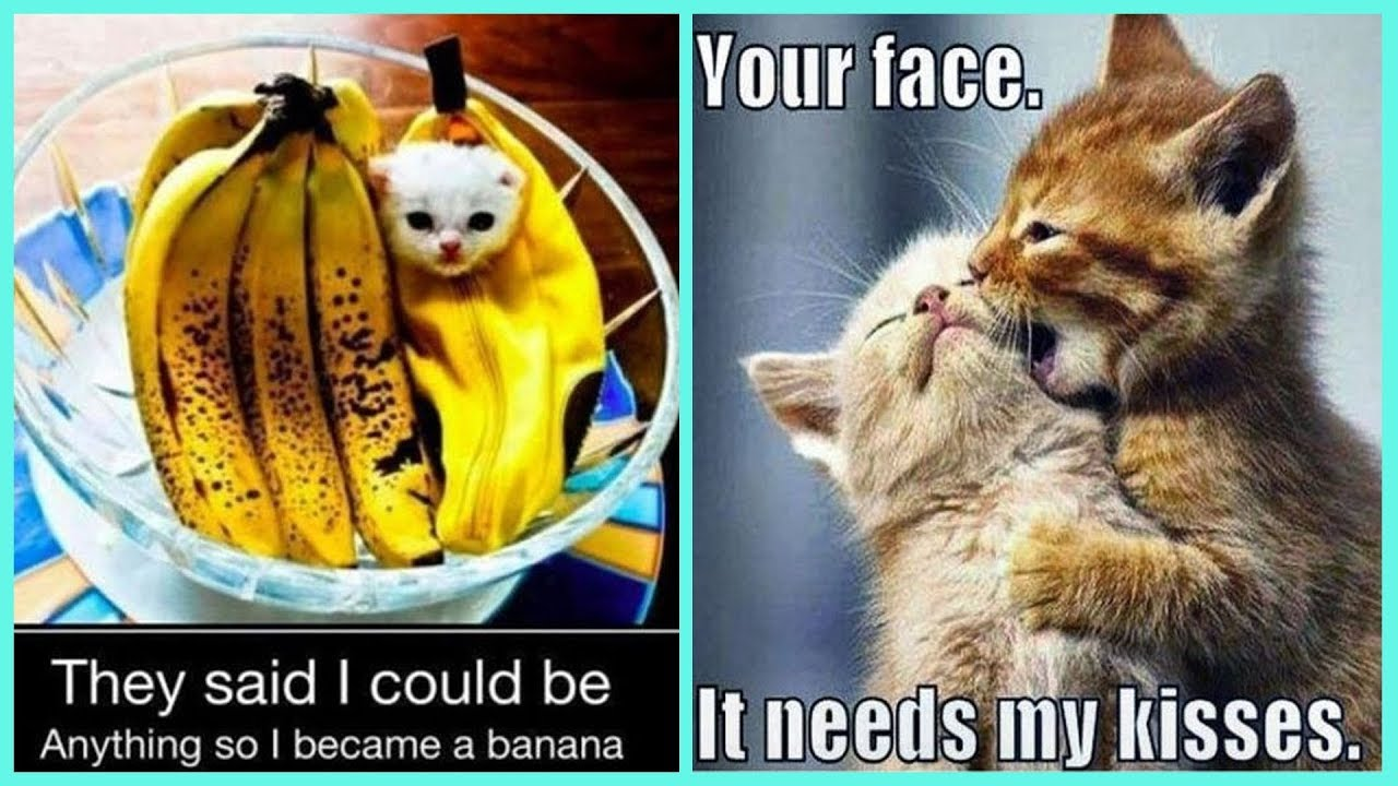 Try Not To Laugh Challenge Adorable And Cute Kitten Memes Youtube