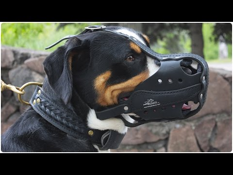 Swiss Mountain Dog walking with his Working Police Dogs Muzzle on