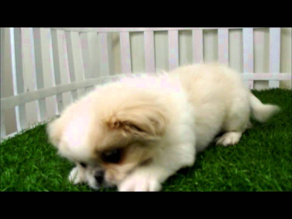 San Diego Puppies for sale in San Diego Pekingese Puppies For Sale