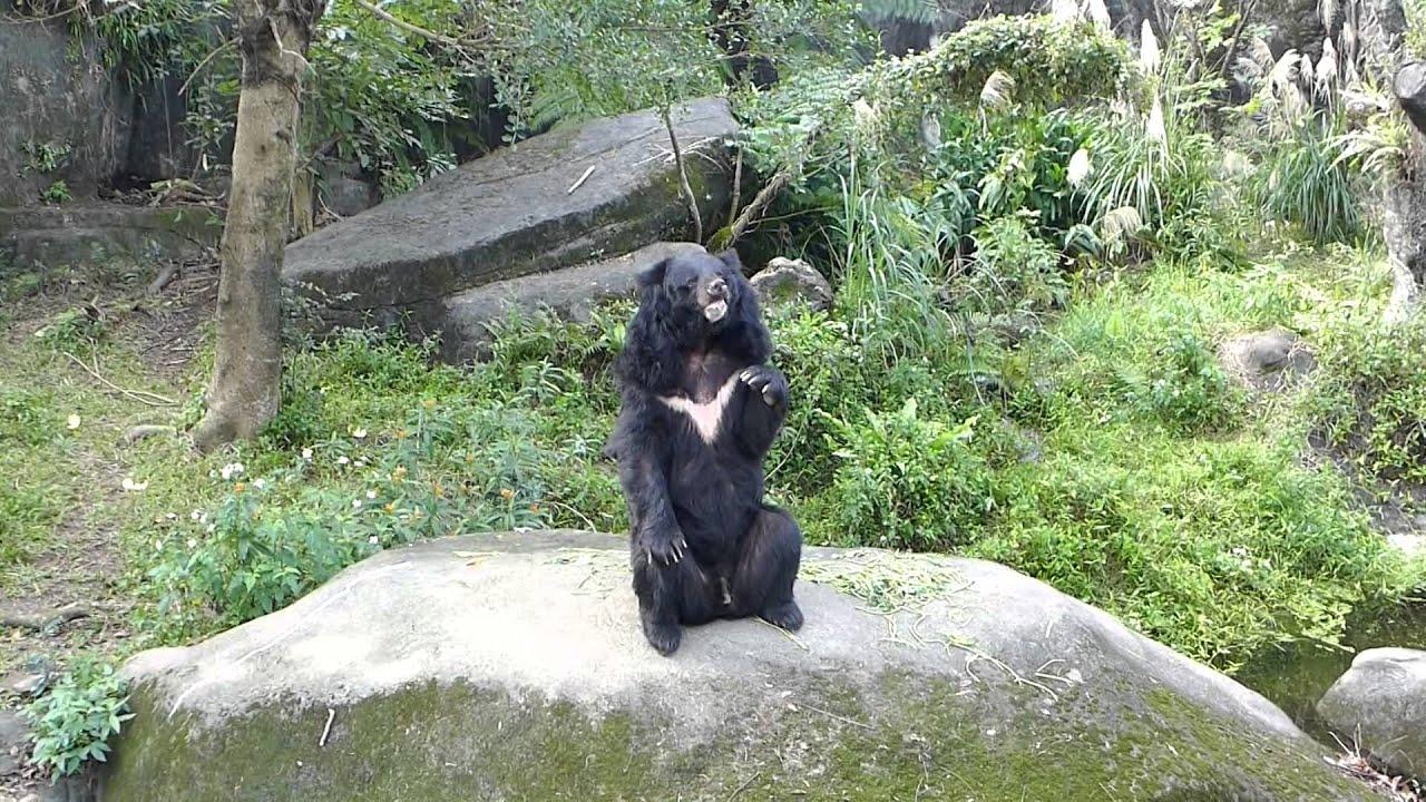木柵動物園黑熊餵食秀 - YouTube