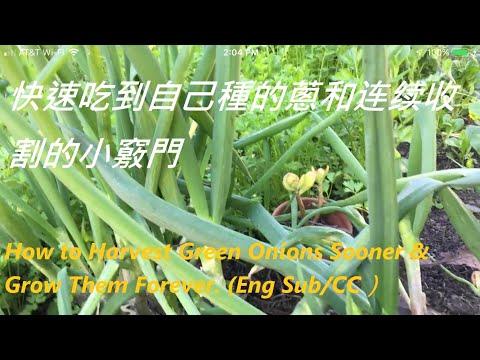 快速吃到自己種的蔥和连续收割的小竅門-How to Harvest Green Onions Sooner & Grow Them Forever. (Eng Sub/CC)