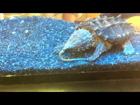 Alligator Snapping Turtle Vs. Eel
