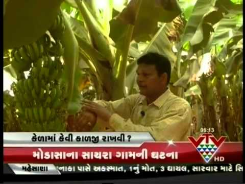 VTV - KHETI, INFORMATION ABOUT BANANA CROP AND PLANTAIN CARE - PART 2