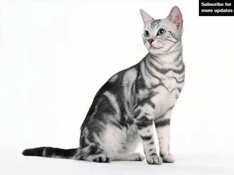 American Shorthair White | Set Of Cat Breed Pictures