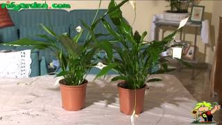 Growing Spathiphyllum