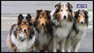 Конкурс красоты среди породистых собак прошёл в Южно-Сахалинске