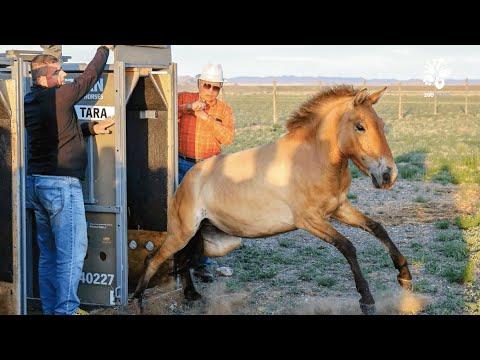 Zoo Praha: Klisny už jsou doma - v Mongolsku