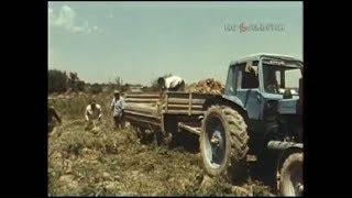 1988 год.  Сбор урожая овощей в Узбекистане.