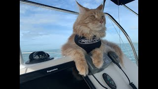 PowerPole's Furriest Ambassador: Fisher the Maine Coon