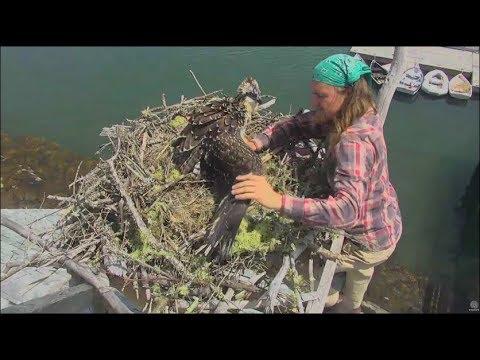 Audubon Hog Island Osprey Cam ~ Bailey Is Found Safe & Relocated to Boathouse Nest 7.29.17