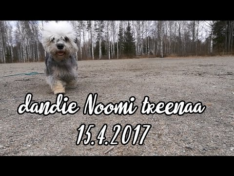 Dandie Dinmont Terrier Noomi - obedience training (dumbbell)