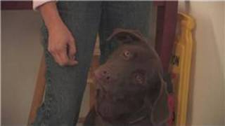 Dog Breeds : How To Select A Labrador Retriever