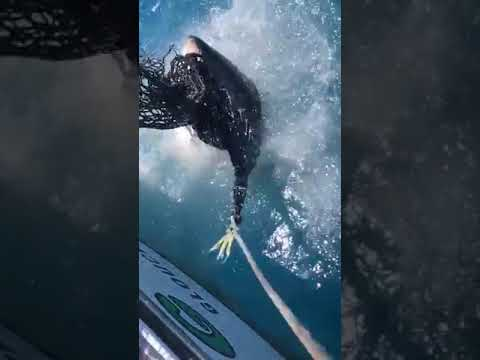Hungry Great White Shark Eats Fishing Net On Boat - 1037423