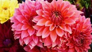 видео Хризантемы цветение