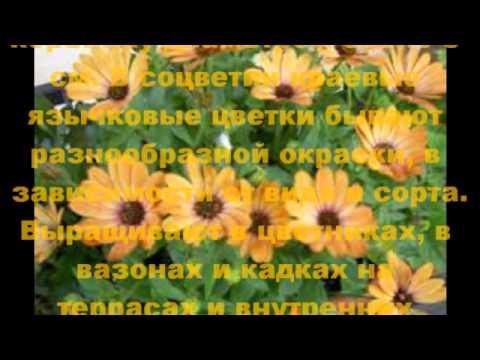 Все О Цветах - Маргаритка многолетняя - выращивание