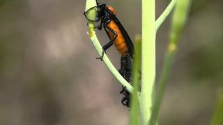 メスアカケバエ Bibio rufiventris のペア