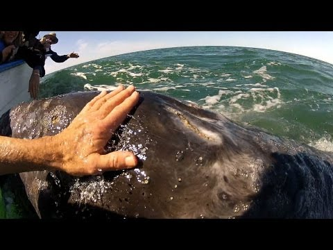 Gray Whale Encounters & Baja central/south HD