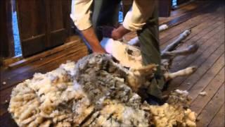 Esquila de borrego en La Patagonia