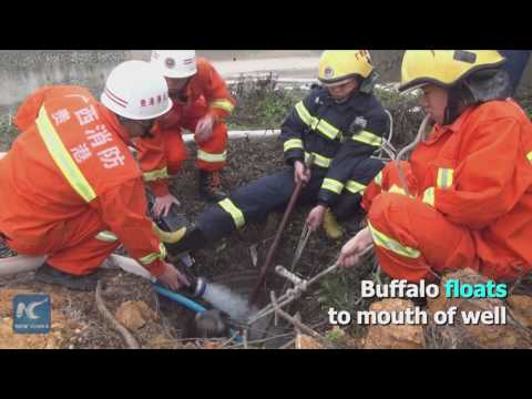 250kg buffalo pulled out of 3m-depth well! How Chinese firefighters do it?