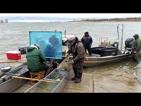 Walleye Spawning Lake Sakakawea - NDGNF - 05-14-2020