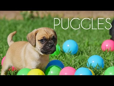 Puggle puppies having a ball