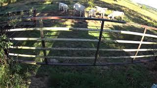 3 vaches pour comprendre que les éleveurs sont livrés à eux-même...