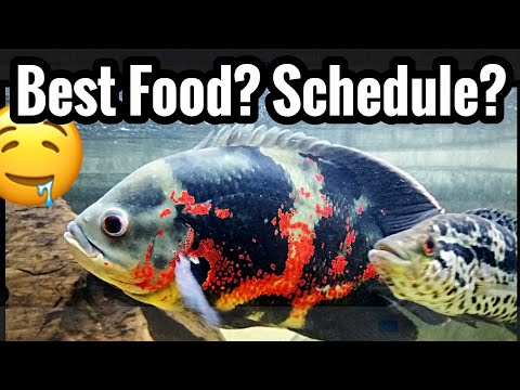 Best Food For Oscar Fish - Feeding Schedule & Treats