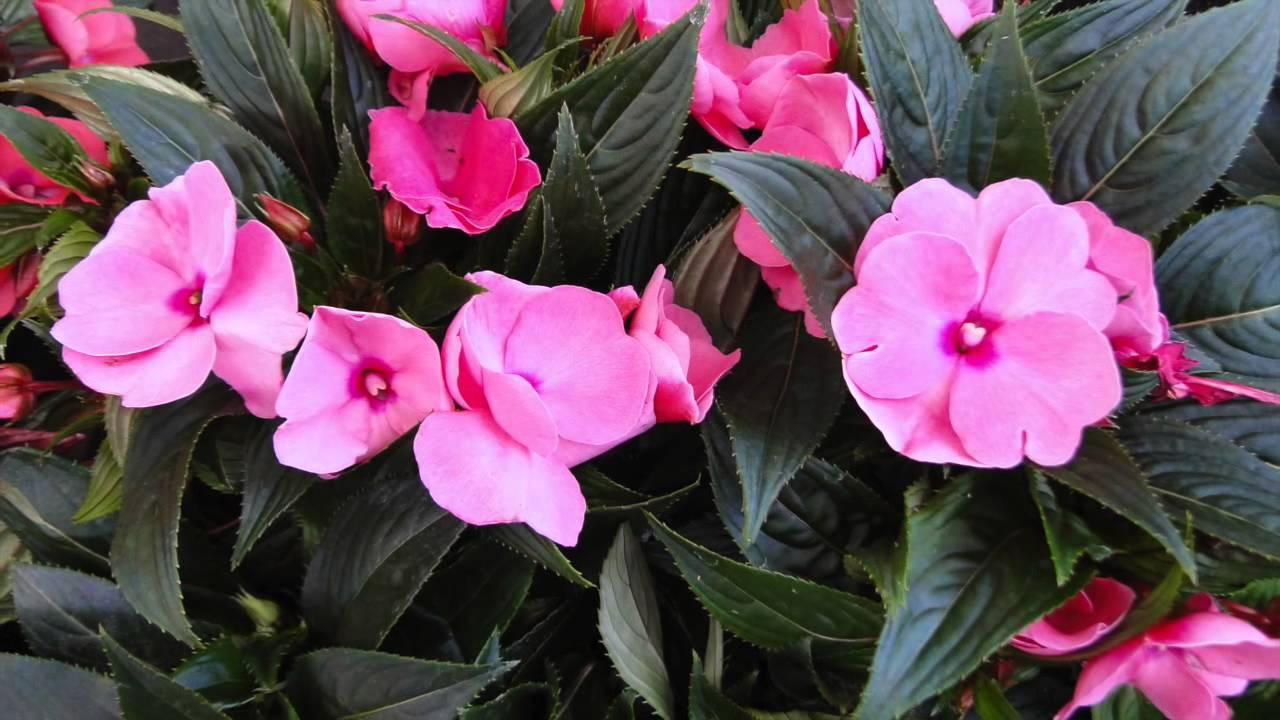 fleurs annuelles plein soleil latest plantations semer ou planter en avril with fleurs. Black Bedroom Furniture Sets. Home Design Ideas